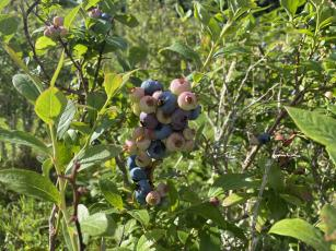 Blueberry Heaven in Bakersville is ready for business again.